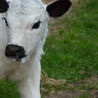 British White Calf 800