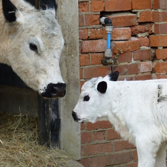 British White Cow and Calf 800