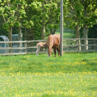 Suffolk Punch and Foal 800