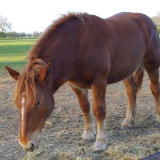 SuffolkPunchhorses