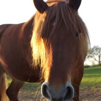 SuffolkPunchhorses7